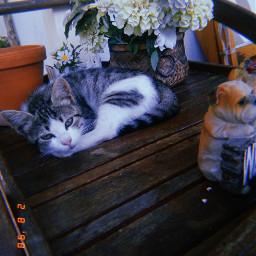 freetoedit mypet pets happy cat