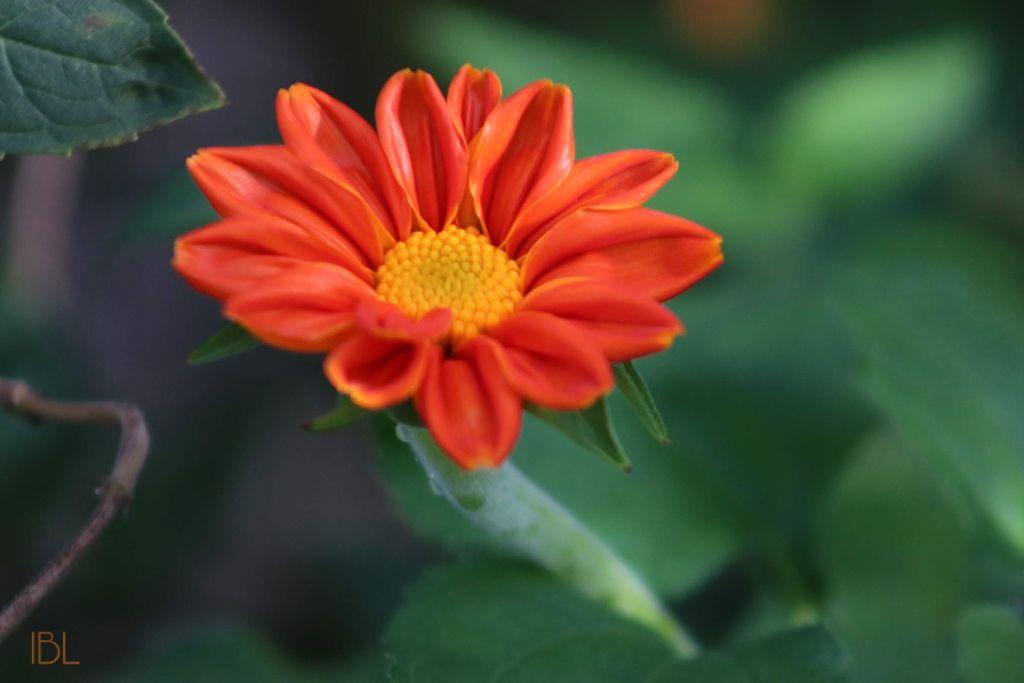 #freetoedit #solitary #singleflower #colorful #photography #flowers #myoriginalphoto #myphotography