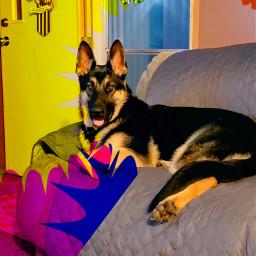 pictureoftheday mybaby germanshepherd duke