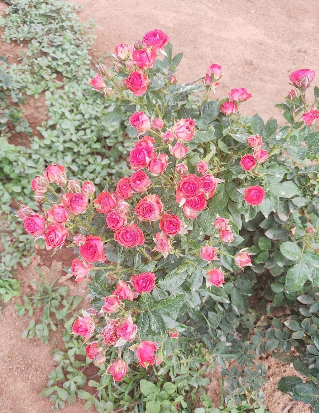 #rose #red #love
