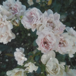 aestetichs aesthetic roses rose flower