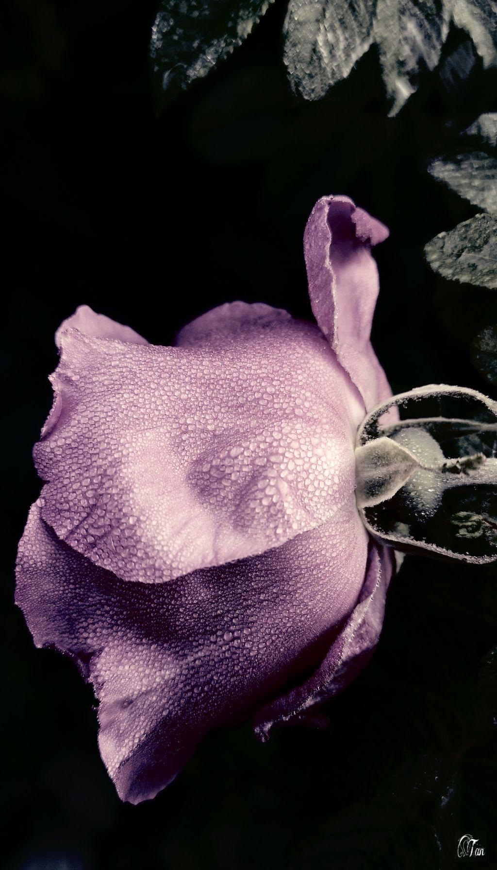 #flower #dew #contrast #nature