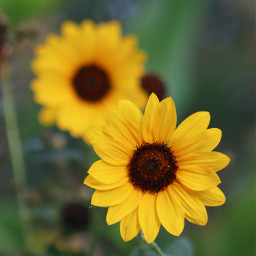 freetoedit nofilter flowers sunflowers canonphotography