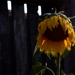 sunflower fence flower dramaeffect freetoedit