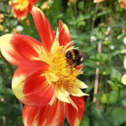 freetoedit flower hummel beautiful photography