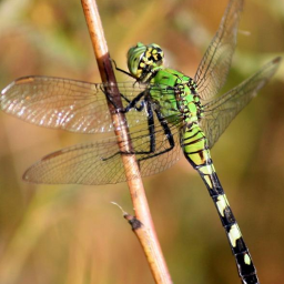 dragonfly green insect beautiful nature freetoedit