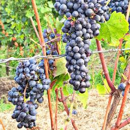 freetoedit vineyard grapes myphoto vigneto