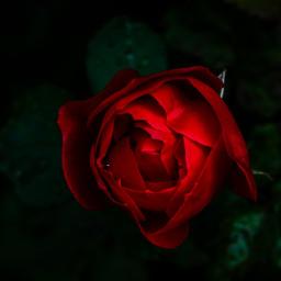 freetoedit rose red redvelvet flower