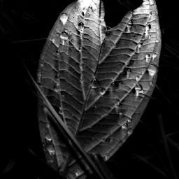 blackandwhite naturephotography autumnvibes autumnleaf september2019