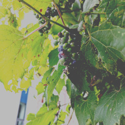 freetoedit foliage grapevines grape niagara