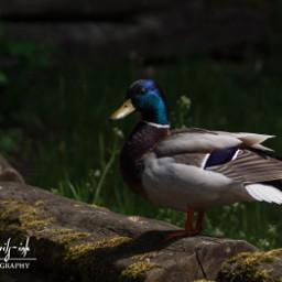 freetoedit mallard anas_platyrhynchos male wild_duck