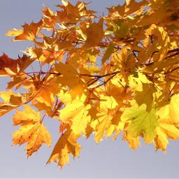 mapleleaves leaves