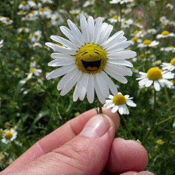 daisy flower stickers happiness outandabout freetoedit