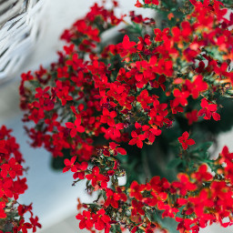 freetoedit flower red nature photography
