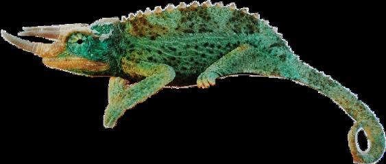 chameleon reptiles freetoedit