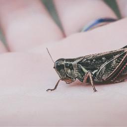 grasshopper bug photo