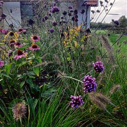 freetoedit verbena grasses myphotography nature