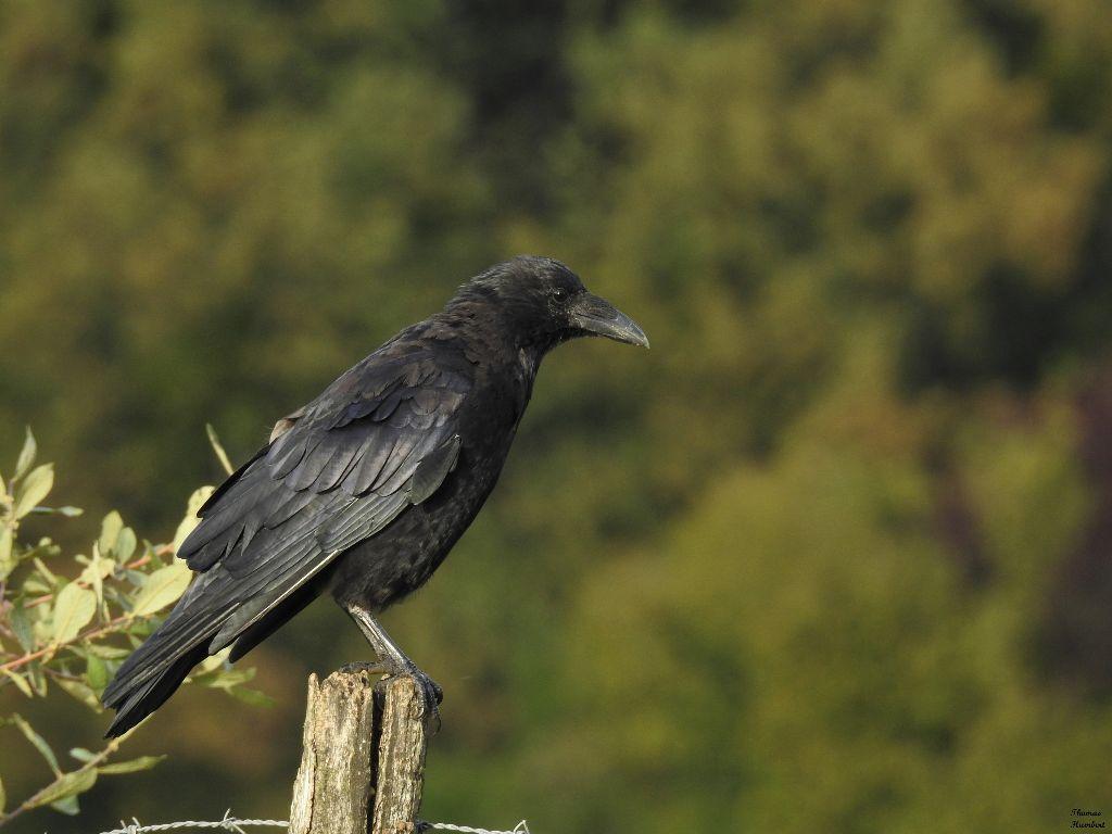 Corneille noire - Carrion crow - Corvus corone by Thomas Humbert #bird #blackbird #oiseau #wildlife #corvids #corvidé #corvidae #photography #corvidsofinstagram #animal #crow #wild #wildphotography #beauty  #freetoedit