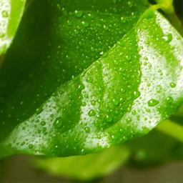 leaves leaf raindrops rain dew