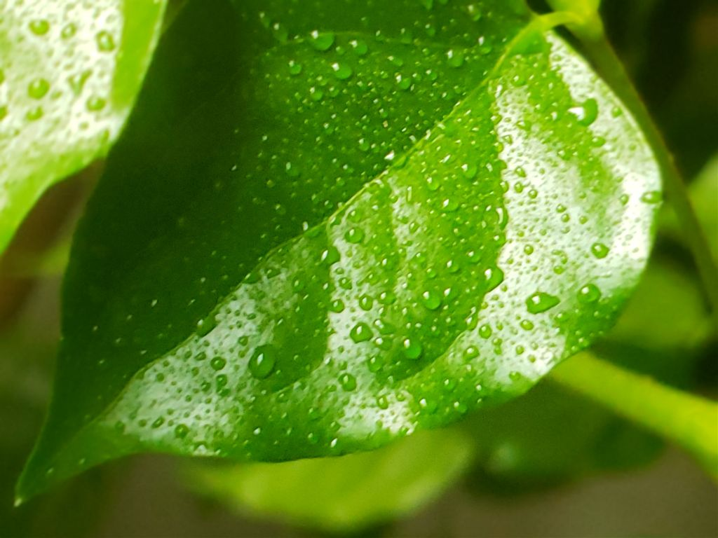 #leaves #leaf #raindrops #rain #dew #green #nature #vine