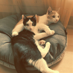 kitten kittensofinstagram pet petsofpicsart petsofinstagram