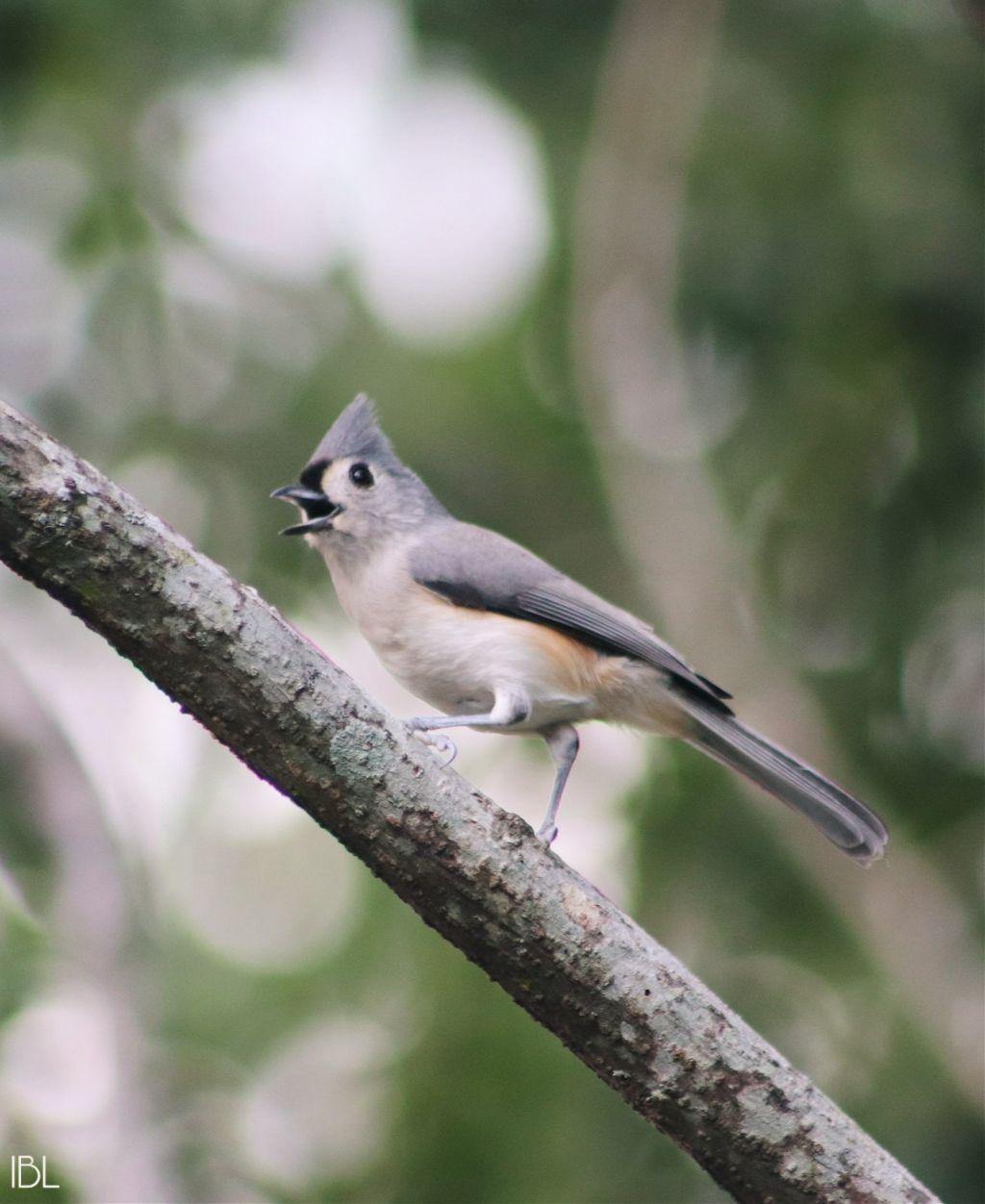 #freetoedit #bird #thingsinmybackyard #cute #titmouse #bokeh #nature #colorful #photography