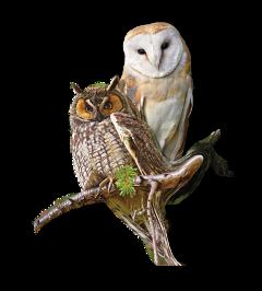 scowl owl uhu couple freetoedit