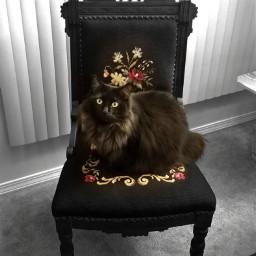 freetoedit kitty cat feline blackcat