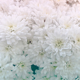 freetoedit candyminimal florals mums floralbackgrounds