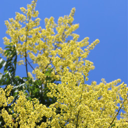 freetoedit depthoffield yellow tree againstthesky