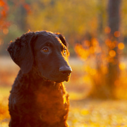 photography sunset curlycoatedretriever