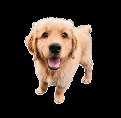 puppy dog puppydog adorable cutie freetoedit