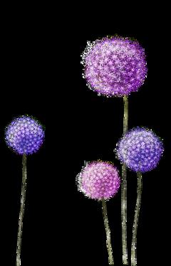 flowers flower dandelion dandelions nature freetoedit