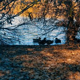 freetoedit ducks photography myphoto nature