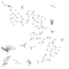 pigeons flock fly white freetoedit