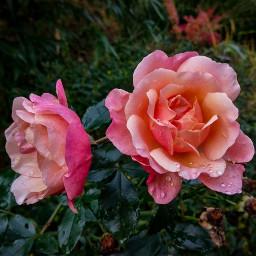 freetoedit rose rainyday rainy nature