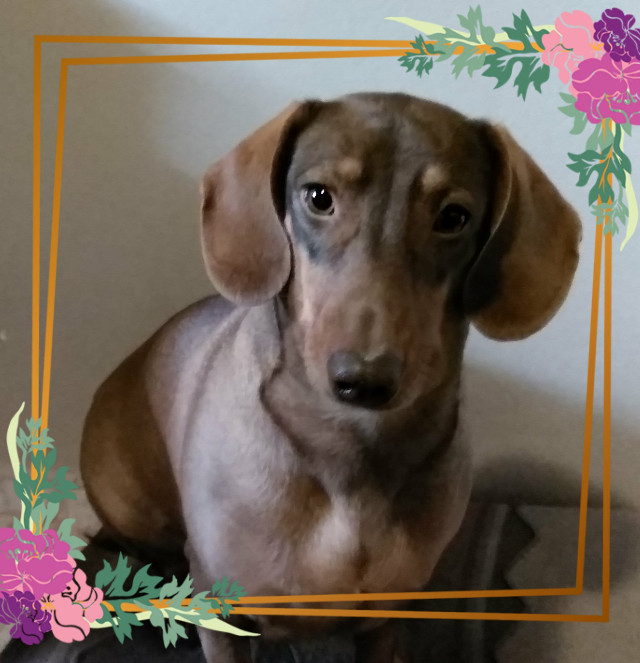 #freetoedit #pet  #domesticanimal #animel #decoration #dachshund #basset