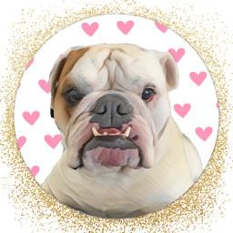 freetoedit englishbulldogs bulldog petlove pet