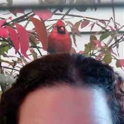 freetoedit cardinal
