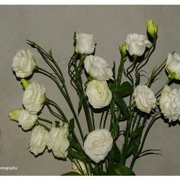 freetoedit followme follow4like flowers flowerslife
