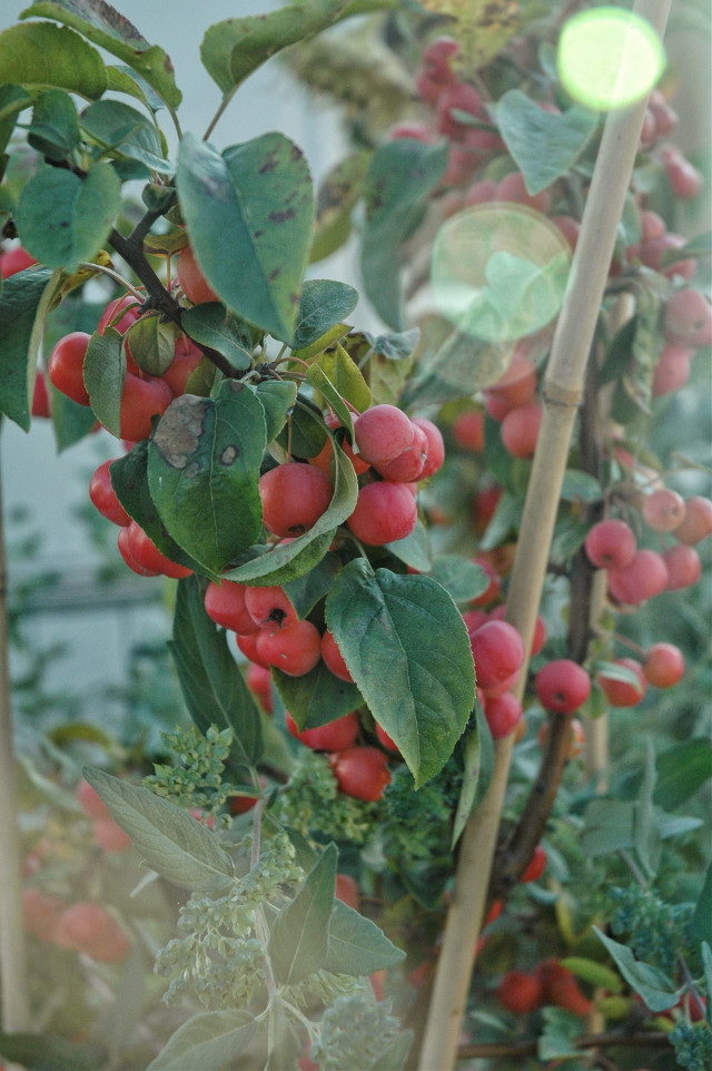 #autumn #autumncolors #apples #lovelyweather #goodvibes 🍁🍃   #freetoedit