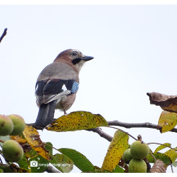 freetoedit followme follow4like bluejay birds