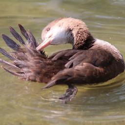 ente duck animal
