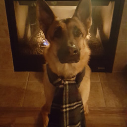 cold nevada gsd gsdlove rangerdangergsd scarf pclookdown