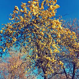 apples autumn tree yellow helloautumn
