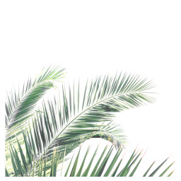 minimalisminnature palmleaves negativespace emptycanvas nature freetoedit