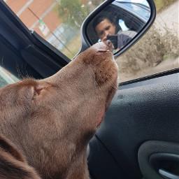 dogislove animalbeauty labrador happines