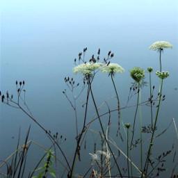 nature wildplants simpleflowers seawaterbackground lowangleshot freetoedit