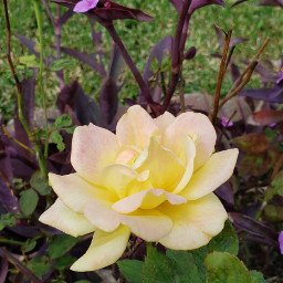 freetoedit roses wanderingjewplant samsungphotography myoriginalphoto