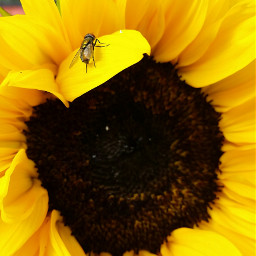 snspshot beautiful sunflower housefly photographylover